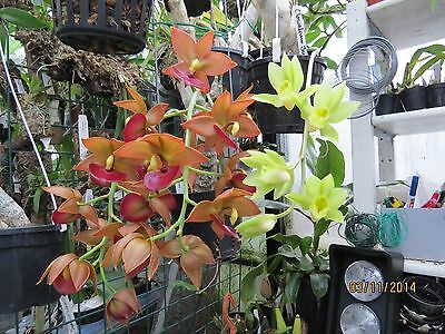 cycnoches jumbo puff emperor