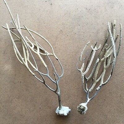 Lot of 2 - Atlantic Ocean Dried Corals - Decorative, Minimal, Oceanic