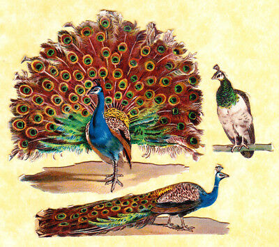 Early 20Th C Scraps,peacock Birds, Largest Approx  8 X 7 Cm