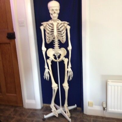 Life size human skeleton anatomical model 5ft 5 from floor to top of head