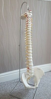 life sized anotomical human spinal