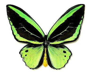 ORNITHOPTERA PRIAMUS KASANDRA MALE FORM RADIANS  Yapen is.....Very rare!