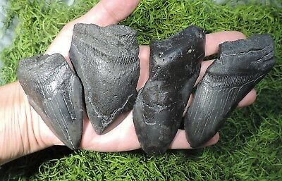 Lot Of 4 Megalodon Sharks Teeth /fossil Sharks Teeth