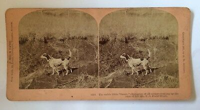 Stereoview Photo Noble Little Sioux Setter Dog 14261 US Field Trials 1901 RARE