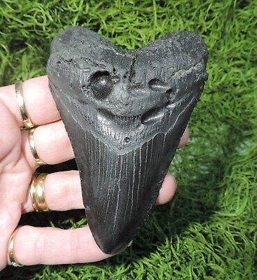 Solid 4 1/8'' Megalodon Sharks Tooth /fossil Sharks Tooth Teeth
