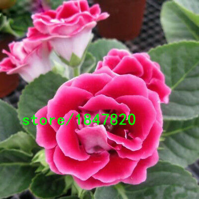 100PCS Red Gloxinia Seeds Perennial Flowering Plants Sinningia Speciosa Bonsai