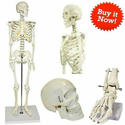 Human Skeleton Medical Model Stand Size Anatomical Anatomy Scientific Vision