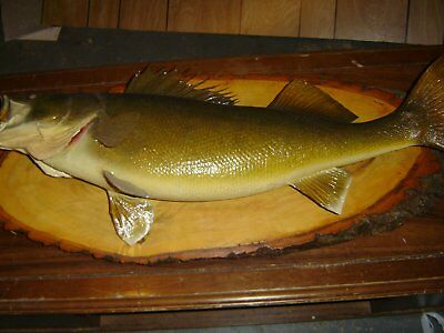 taxidermied fish