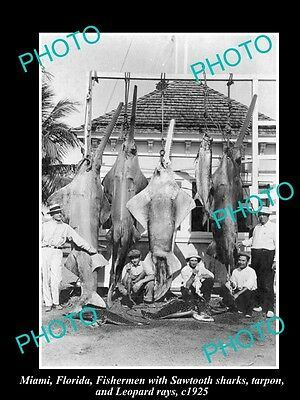 OLD LARGE HISTORICAL GAME FISHING PHOTO OF SHARKS AND RAYS, MIAMI c1925