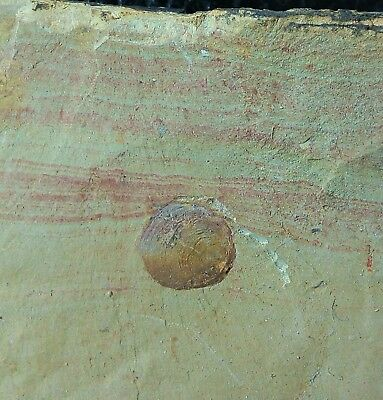 "Nice ""Diandongia pista"" Brachiopods in Death Pose, Cambrian, Chengjiang"