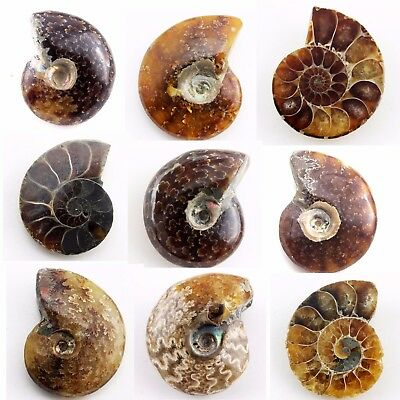 601.51 ct Natural Ammonite  Fossil   Lot ( Untreated ) / S6401