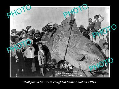 OLD LARGE HISTORIC FISHING PHOTO OF A 3500 pound SUN FISH BEING CAUGHT IN 1910