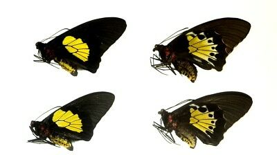 Troides criton criton 2 PAIR...Halmahera is. An excellent example of this type!