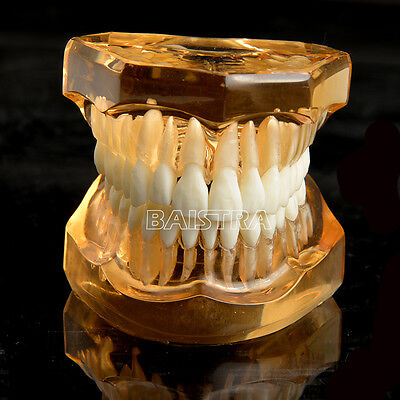 UK Dental Study Teaching Teeth Model Adult Typodont Removable Teeth Model 7006-1