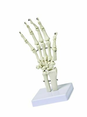 Walter Products B10210 Human Hand Skeleton Model on Base Life Size Articulate...