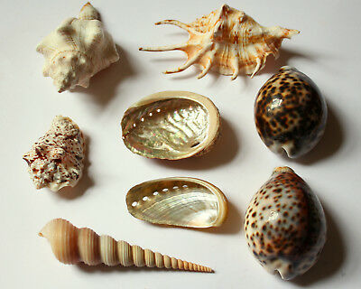 Collection of Sea Shells Nautical Display Mother of Pearl Abalone