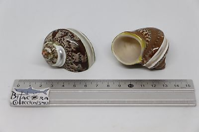Turbo PETHOLATUS 2 Sea shells Molluscs Malacology Polished