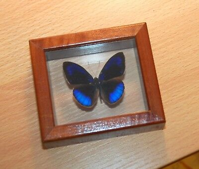"""GENUINE FRITILLARY BLUE BUTTERFLY FRAMED MOUNTED Gorgeous 3"""" x 3"""""""