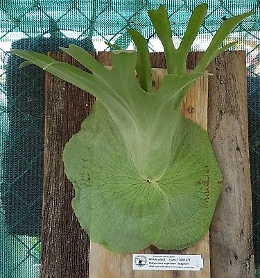 STAGHORN (Platycerium superbum) ON TIMBER BOARD WITH HANGING HOOK