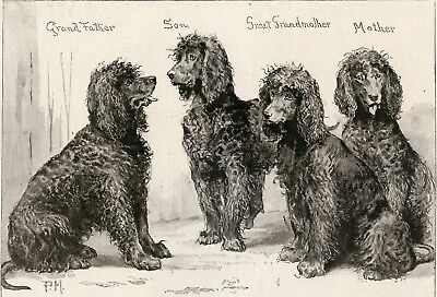 IRISH WATER SPANIEL ANTIQUE ENGRAVED PRINT 1892 Owner Col Hon. W. Le Poer Trench