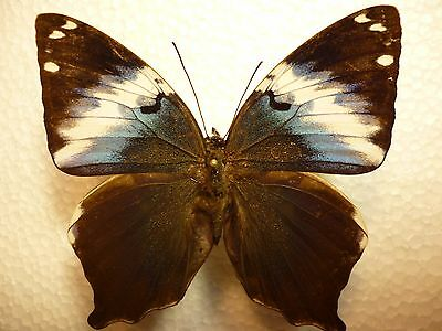 Real Butterfly/Insect/Moth Non set Folded Prhoto franck 6.5 cm