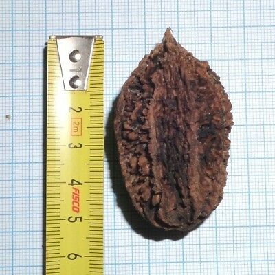 Juglans cinerea - form 1 (Butternuss, Butternut, White walnut) / 5 Samen/Seeds