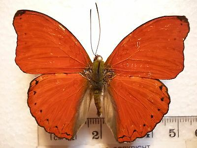 Real Butterfly/Moth Dried Insect Non Set.Red male Cymothoe sangaris. 4 cm- 5 cm