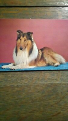 Purebread Beautiful Collie Dogs Vintage Photo Post Card In Full Color.
