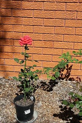 Well Established Rose Bush Plant Orange-Pink-Red Flowers Garden - 20cm Pot #2