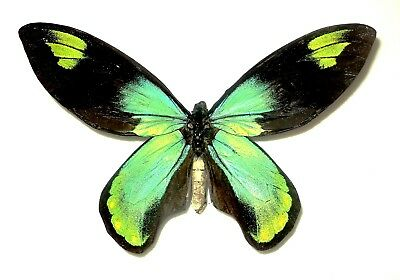 Ornithoptera victoriae victoriae MALE Solomon is.....Very Rare!