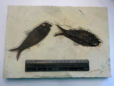 LARGE GREEN RIVER KNIGHTIA ALTA FOSSIL FISH WYOMING USA 270mm 2285g GIFT fj19