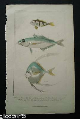 1837:A Original Antique FISH-PESCI - By Baron G.Cluvier
