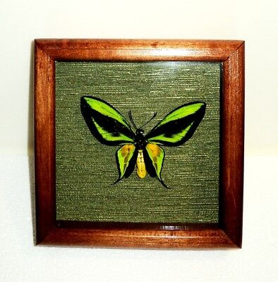 ORNITHOPTERA PARADISEA CHRYSANTHEMUM MALE the frame is made of real wood. RARE!