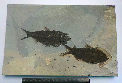 LARGE GREEN RIVER KNIGHTIA ALTA FOSSIL FISH WYOMING USA 260mm 1500g GIFT fj20