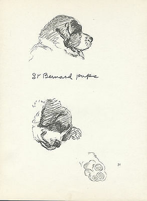 Saint Bernard Pups Lovely Image Old Lucy Dawson Dog Print
