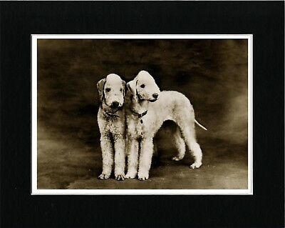 Bedlington Terrier Dogs Vintage Style Dog Art Print Matted Ready To Frame