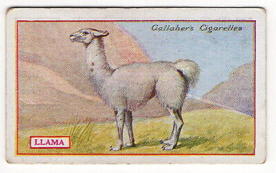 Vintage 1921 Wildlife Painting Card of a LLAMA