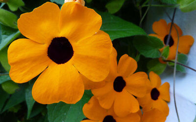 Black-Eyed Susan Seedling Stunning Orange Flower Thunbergia Vine - 15-20cm high
