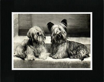 Skye Terrier Two Dogs Lovely Vintage Style Dog Art Print Ready  Matted