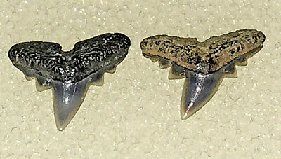 TWO Abdounia beaugi FOSSIL SHARK TEETH EOCENE BELGIUM