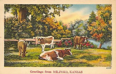 Milford Kansas~Cows Graze in Meadow~Steer Lays in Grass~1940s Linen Postcard