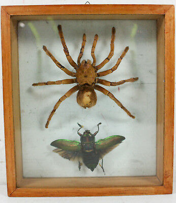 Spider Winged Insect Wall Hanging Specimen Display
