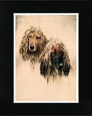 Afghan Hound Dogs Head Study Lovely Vintage Style Dog Art Print Ready Matted