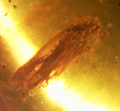Certified 4.76 ct Natural Burmite Amber Insect 100 Million Years Old / S8926