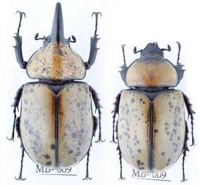 MB009# BEETLE Dynastes tityus, A-_Pair_61mm 51mm!!