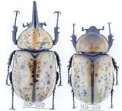 MB010#BEETLE Dynastes tityus, A-_Pair_62mm 51mm!!
