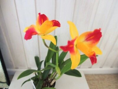 "Orchid CATTELYA - Chunyeah No 17 - ""Rosellas Graceful Moon' - IN FLOWER! PERFUM"