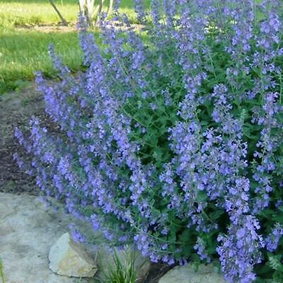 Catmint Blue Herb Seeds (Nepeta Mussinii) 50+Seeds
