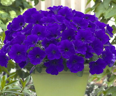 Trailing Petunia Blue (5000 Seeds)