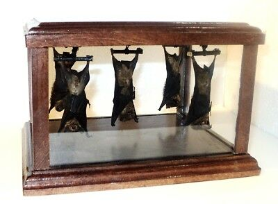 Taxidermy: A colony of bats. Hang. 5 pieces! Creative work. Original gift !